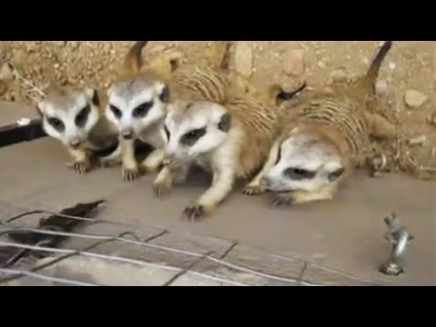 Kyle Anthony - Meerkats Playing With A Feather