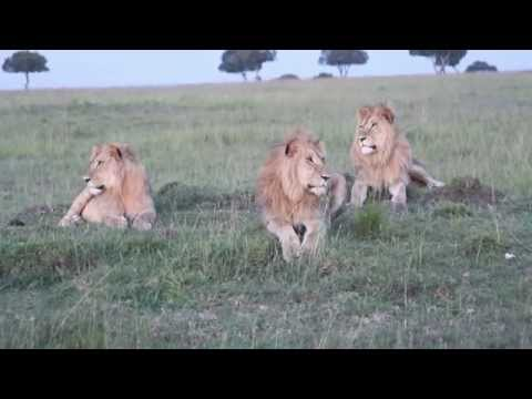 Mike Elgan finds some bad-ass lions on the Masai Mara.