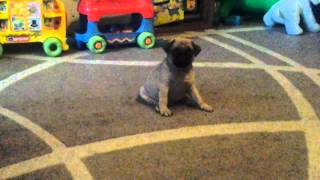 Pug Mops Is Learning To Walk *cute