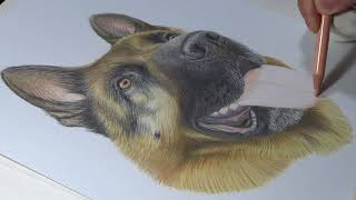 Dibujo realista de Grey, un Pastor Aleman - Timelapse (Drawing a realistic German Shepherd)