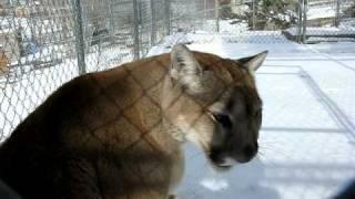 Cougar meows, purrs, says hi thumbnail