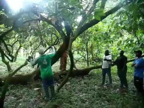 Bush Mango project part 1