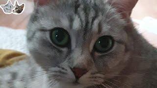 침구청소기 돌리자마자 이불위에서 그루밍하는 고양이.[정…