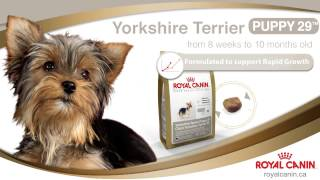 Royal Canin - Yorkshire Terrier - Guelph - 1-0849
