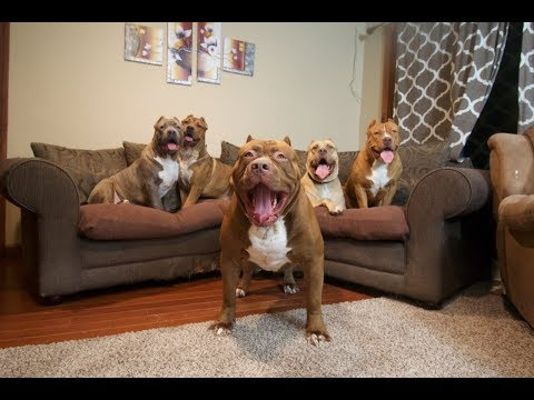 Best of WORLD FAMOUS GIANT FAMILY PIT BULL 'THE HULK' part 1