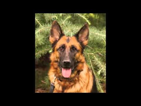 Baerental german shepherd Puppies For Sale in Texas