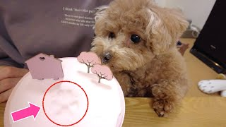 Our dog can't help wondering about his own paw print [Toy Poodle]