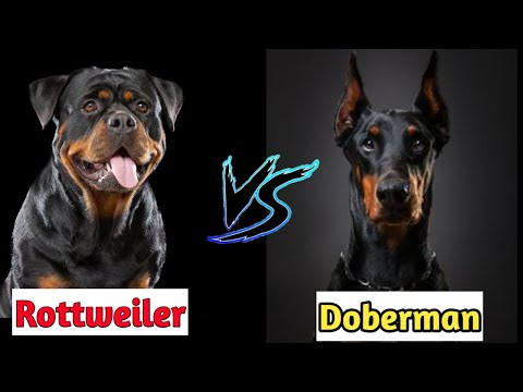 Rottweiler vs Doberman : Which is better guard dog : COMPARISON 🔥