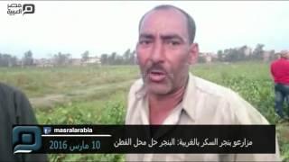 مصر العربية | مزارعو بنجر السكر بالغربية: البنجر حل محل القطن