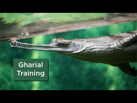 Gharial training at Cleveland Metroparks Zoo