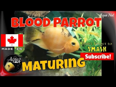 Maturing Blood Parrot Cichlid | Baby Blood Parrot Fading