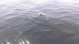 16-18' Great White Shark Cape Cod Bay 6/23/2014