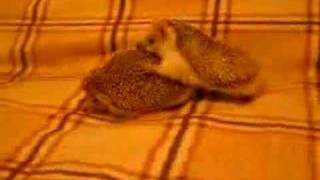 Hedgehogs sex/ Как ёжики делуют ЭТО