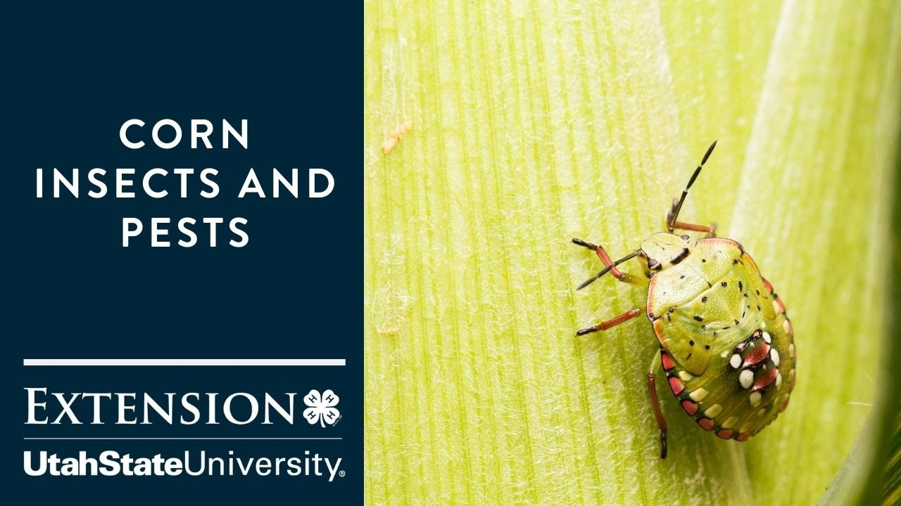 Corn Insects and Pests