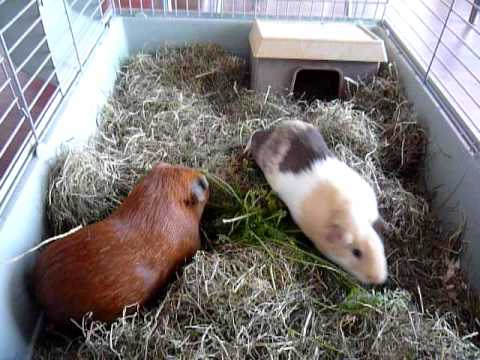 Guinea Pigs 'business as usual'