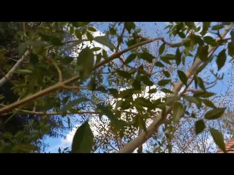 Ash Tree Ash Fly Queen Creek AZ 480 969 8808 Warners Tree Surgery UD18