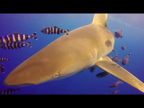 Diving In Egypt, May 2018 - Emperor Divers, Red Sea Sharks Liveaboard