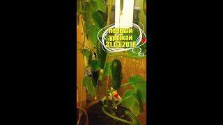 Выращивание огурцов на подоконнике в квартире зимой, ПЕРВЫЙ УРОЖАЙ!!! Часть №4 (31.03.18)