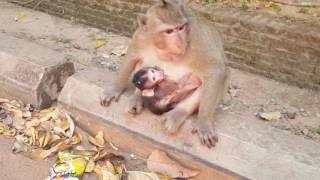 Lovely Baby Monkey just born with mom - Monkey eat milk mom.