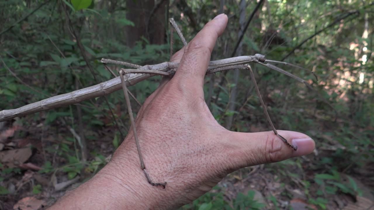 ナナフシ約40cm Phobaeticus mag...