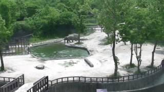 子ゾウがプールに落っこちた!岸に上がれない子ゾウを助けるために2頭のゾウが協力するよ