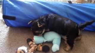 Yorkshire Terrier Puppies 8 Weeks Old
