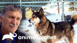 ¡Dr.Jeff opera a un lobo salvaje! | Dr. Jeff, Veterinario | Animal Planet