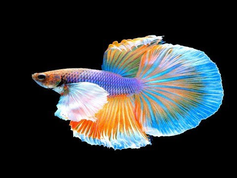I Bought Two Show Quality Bettas - I don't think they are show quality, do you?