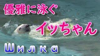 Милый белый медведь обнимает газовую трубку на спине  ガス管抱いて背泳ぎするかわいいイッちゃん