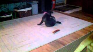 Pug Puppy playing with her tail and a Pit
