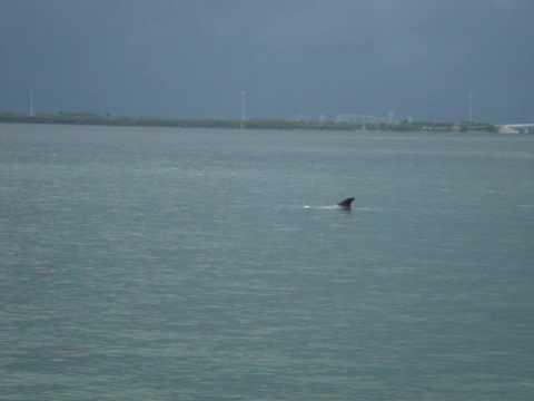 Miami Beach Wild Dolphins