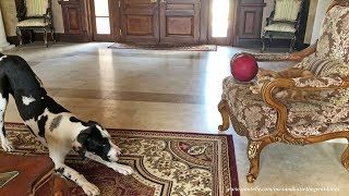 Great Dane Puppy Wants Cat To Play  Ball With Him