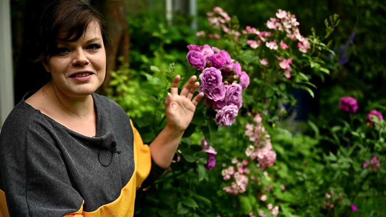 Розы необычных цветов у меня в саду / Обживаю альпийскую горку / Влог 12 07