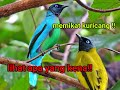Pikat Burung Kuricang Kutilang Sutra  Mp3 - Mp4 Download