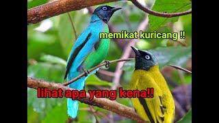 Pikat Burung Kuricang Kutilang Sutra
