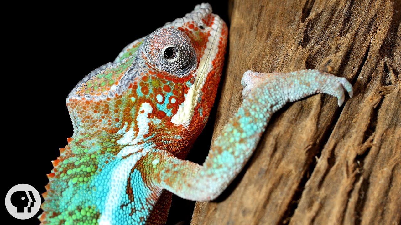 Youtube premium also nature   mood rings how chameleons really change color deep look rh