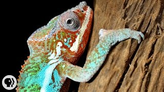 Nature's Mood Rings: How Chameleons Really Change Color | Deep Look