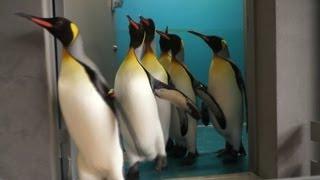 長崎ペンギン水族館では、冬~GWまでキングペンギン達は外をパレードし...