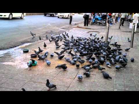 Mumbai, Pigeons, Goat, Daily Life, bombay, india, traffic
