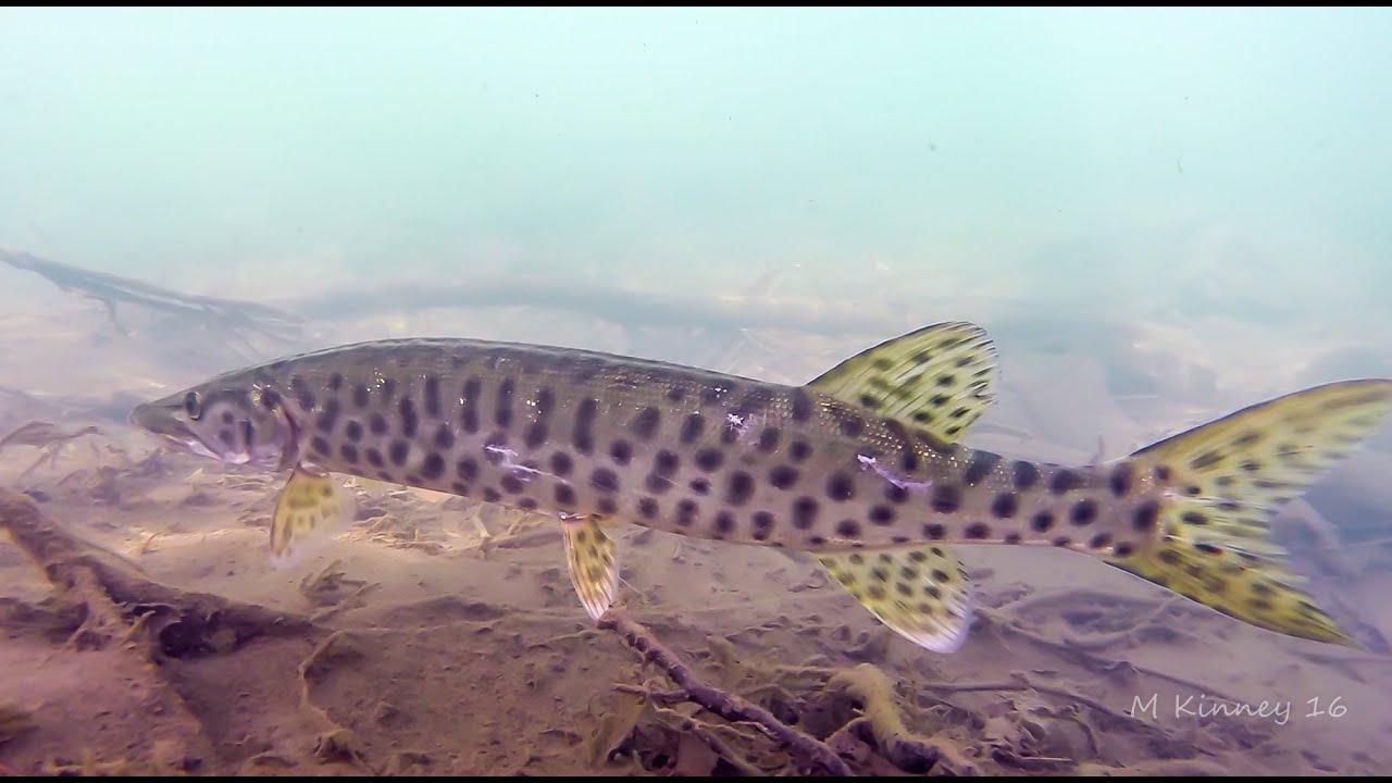 Baby Musky Underwater Close Up - Susquehanna River - YouTube