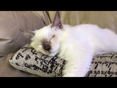 Ragdoll kitten - котеночек разболелся - рвота, температура, насморк и конъюнктивит