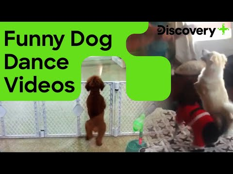 नाचते हुए कुत्ते | Funny Dog Dance Videos | Funny Animals Dance | Discovery Plus India