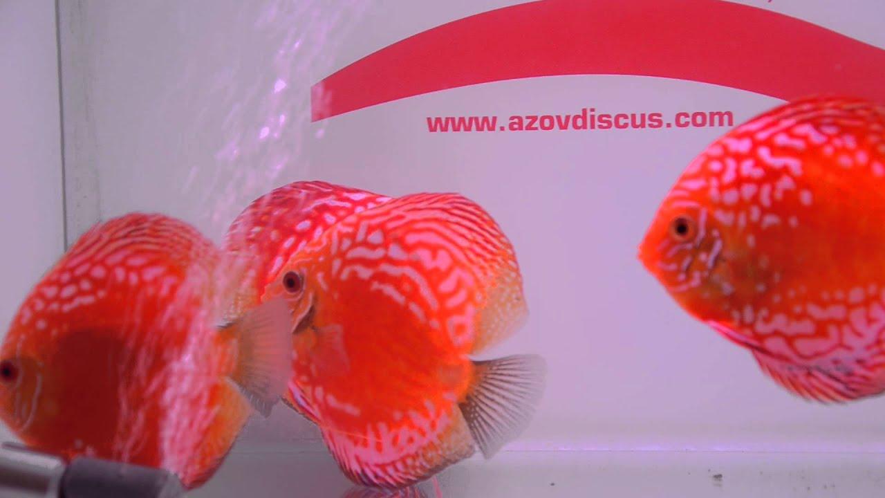 Rafflesia discus - YouTube