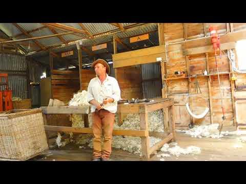 Tiến trình cắt lông cừu ở Warrook Cattle Farm-Melbourne- Australia