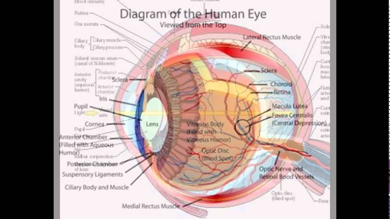 hight resolution of the diagram of the human eye