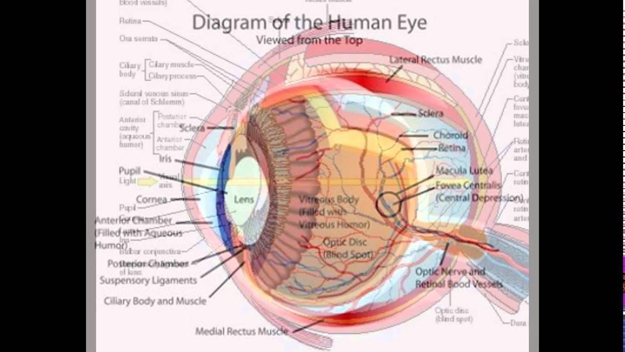 the diagram of the human eye [ 1280 x 720 Pixel ]