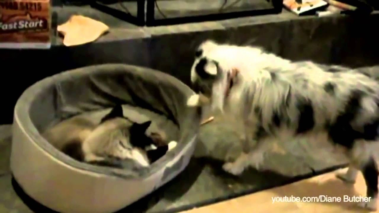 Cats Stealing Dog Beds Compilation Youtube
