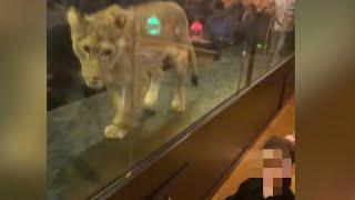 Løven underholder gjestene. Tyrkisk kafé får massiv kritikk