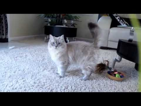 Playful Blue Mink Ragdoll