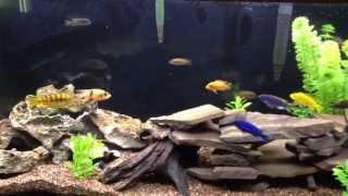 55 Gallon African Cichlid Aquarium - 5/6/13